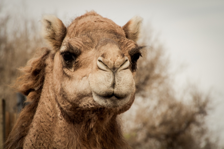 Just a camel. No reason.